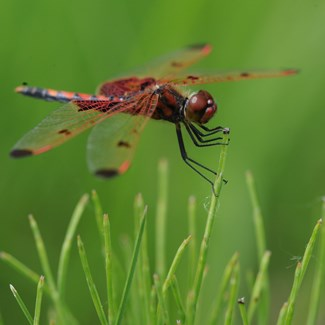 Dragonflies At Wiregrass Lake