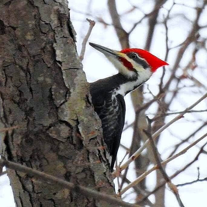 Distinctive Reclusive Pileated Woodpecker Seen At Swan