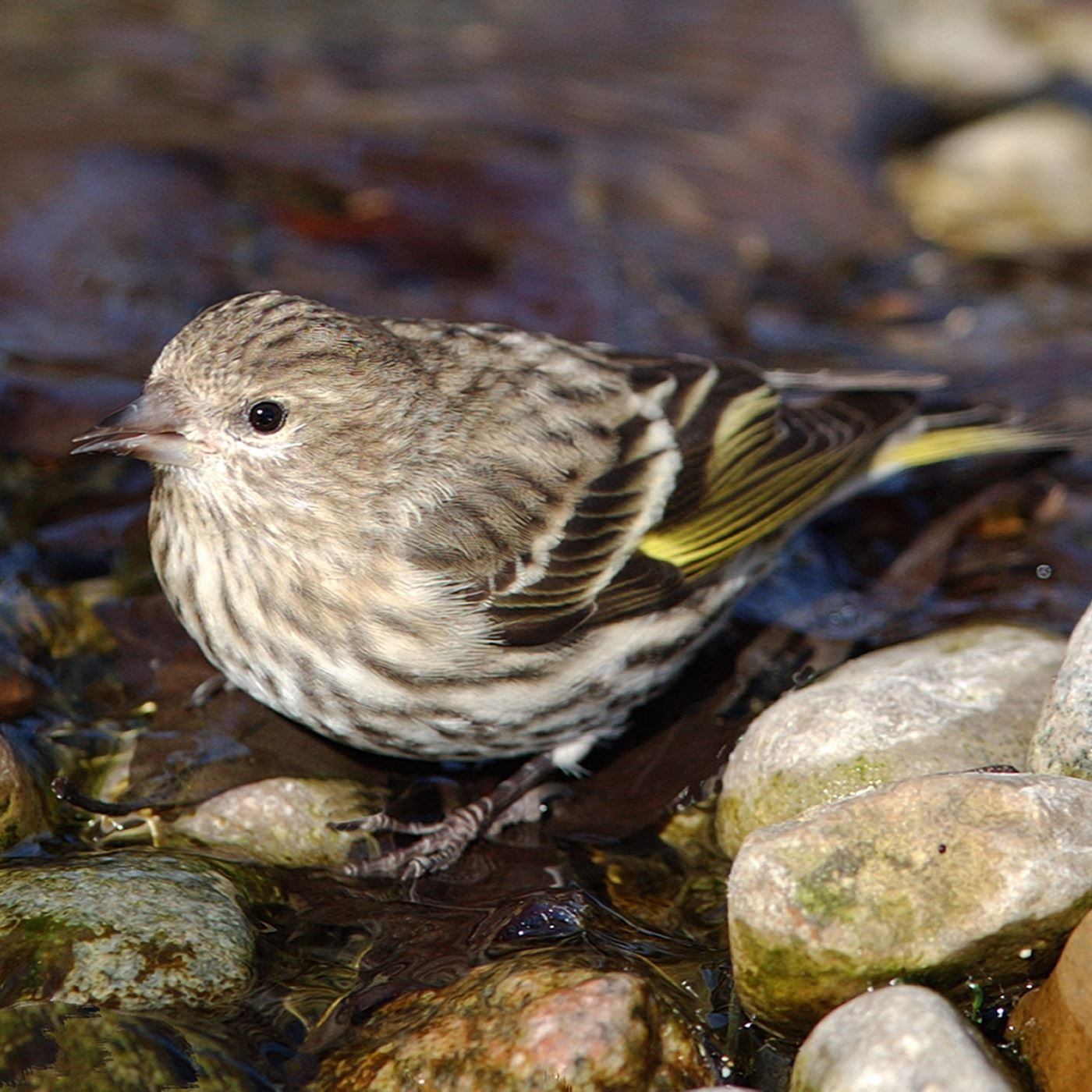 siskin-in-stream-oojpg