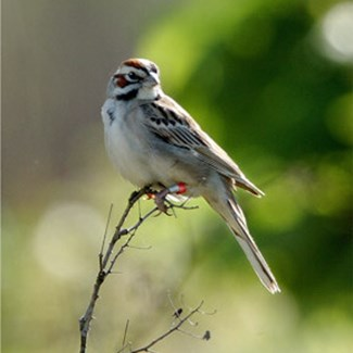 banded-lark-sparrow-open-perch-girdhamjpg