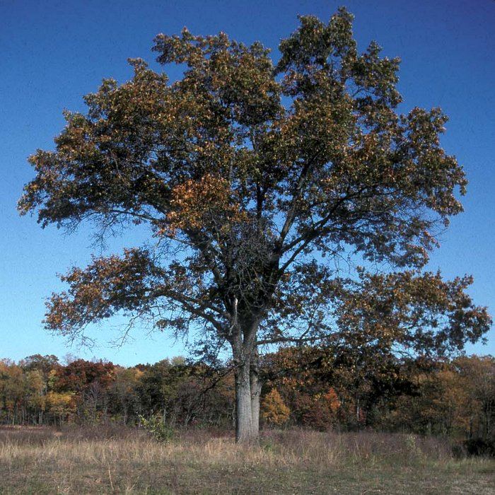 savanna-oak-in-fall-rjjpg