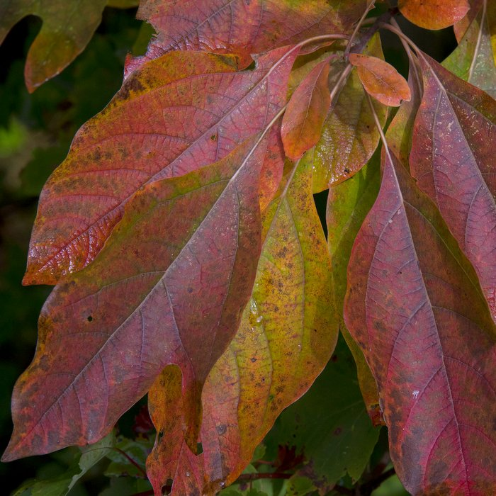 wab-can-trail-sassafras-early-fall-019jpg