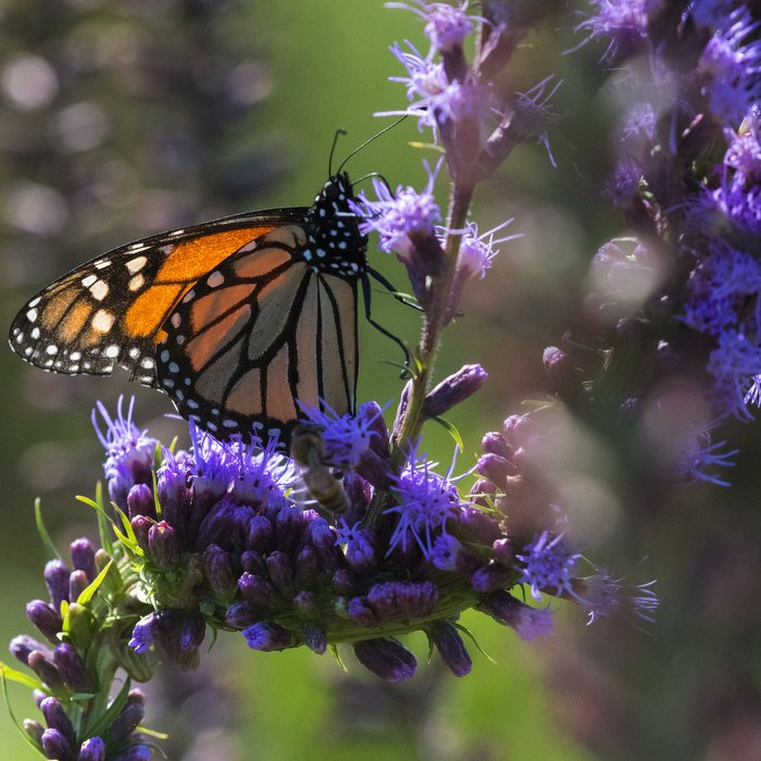 monarch-on-blazing-starjpg