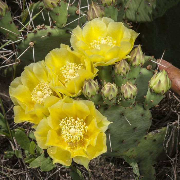 prickly-pear-cactus-flower-sand-dunes-020-editjpg