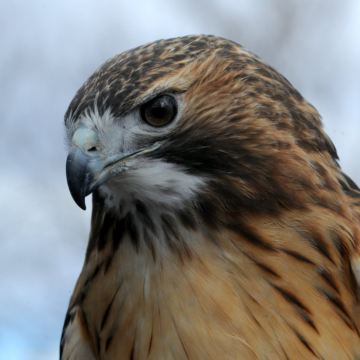 red-tailed-hawk-025jpg