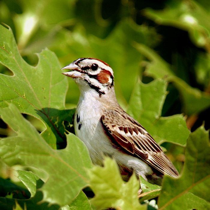 lark-sparrow-in-oak-girdham-retouchjpg