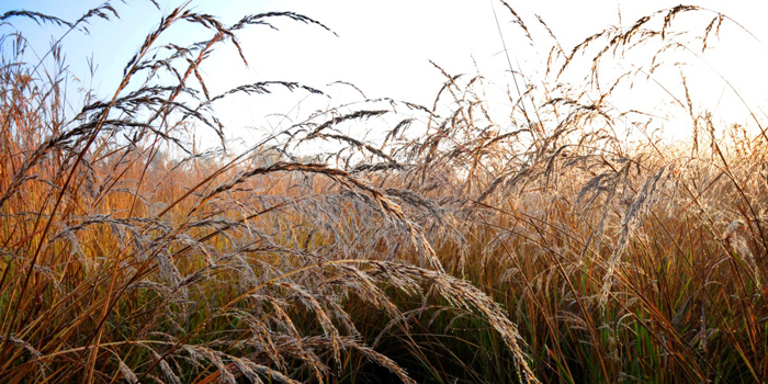 prairie-grasses-009-secorjpg