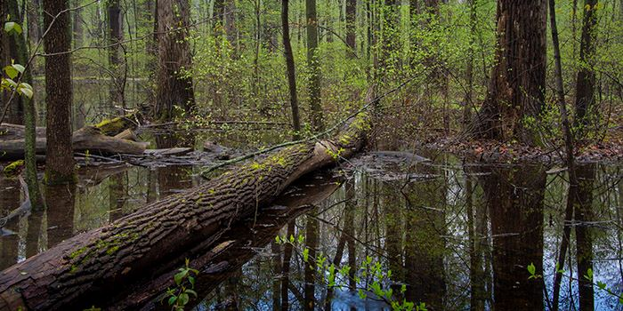 pearson-great-black-swamp-forest-thumbnailjpg