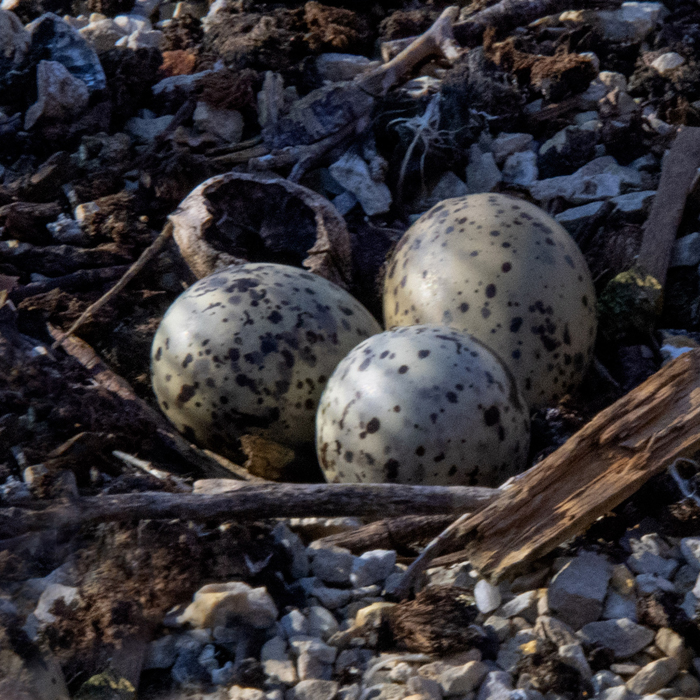 Howard Marsh-Tern nest on platform - Weber - 6-24-2020-150.jpg