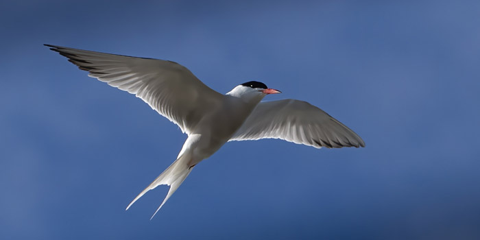 Tern Common - Howard Marsh in flight over platforms 6-24-2020.jpg