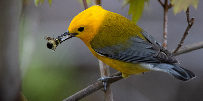 prothonotary-warbler-magee-5-3-2021-131jpg